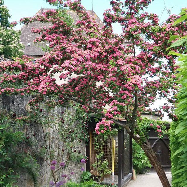Magnifique aub pine en fleurs le jardin des cinq sens for Le jardin des fleurs talence