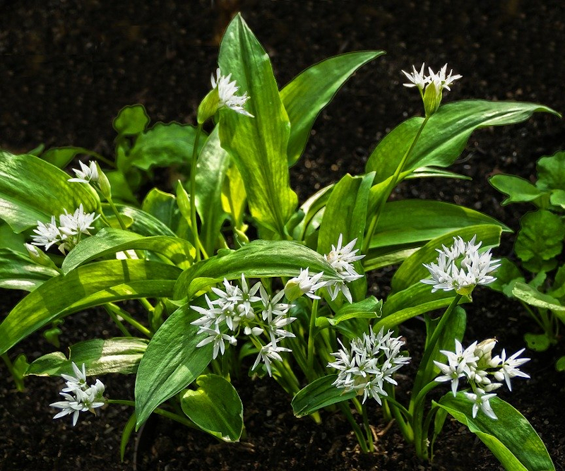Bear Garlic