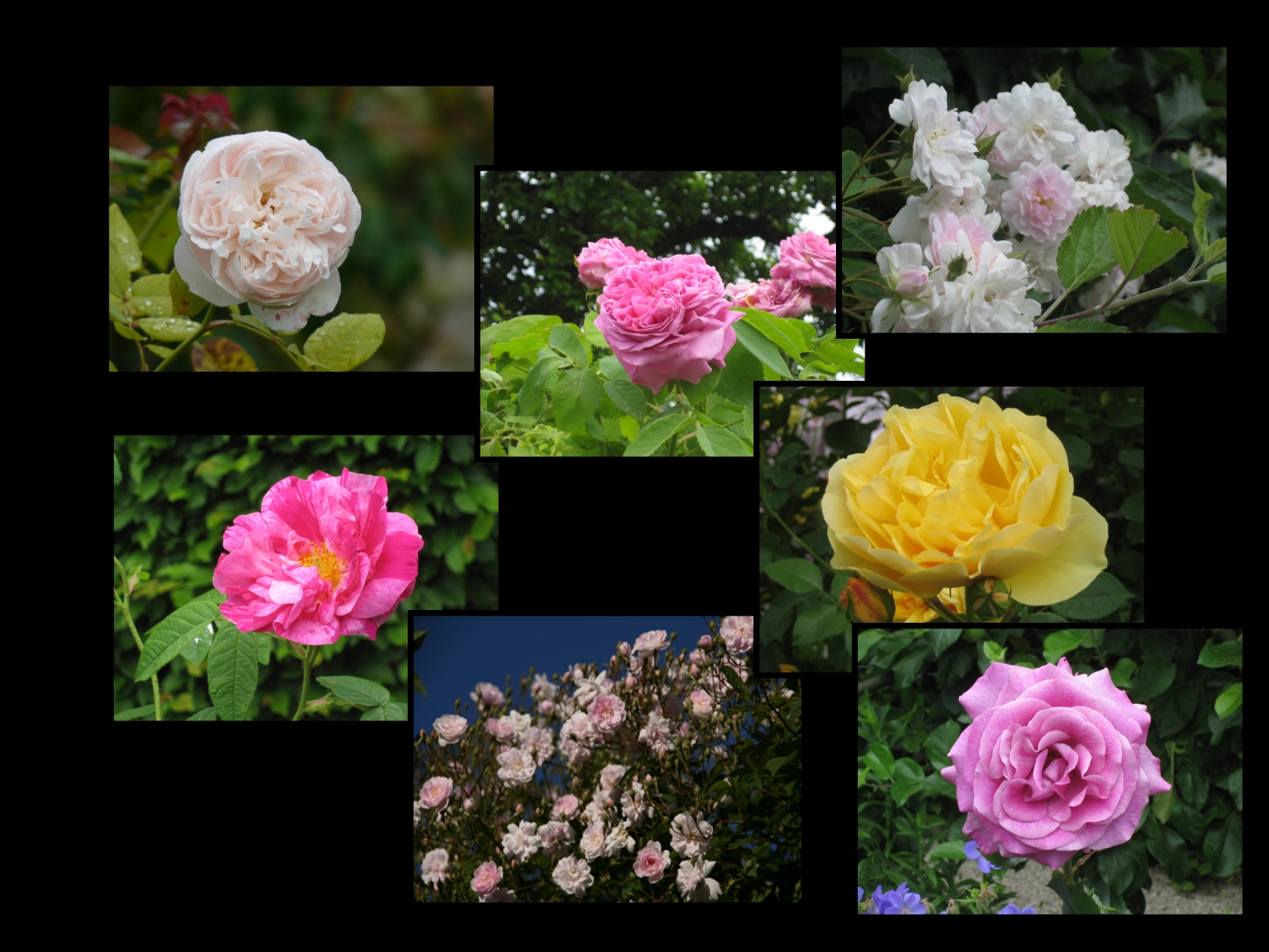 roses jardin Yvoire