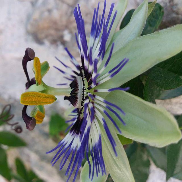 La passiflore fleurs symboles et vertus - Les jardins de passiflore ...