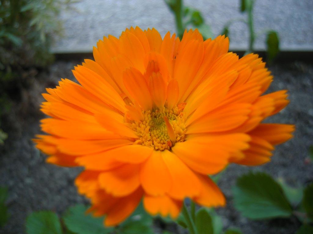Fleur de calendula - Le Jardin des Cinq Sens - Yvoire. Belles Demeures.