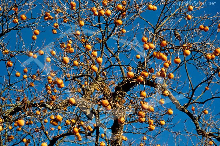 Plaqueminier en hiver, les kakis sont mûrs en janvier. | Le Labyrinthe, Jardin des Cinq Sens. Haute-Savoie (74). France.